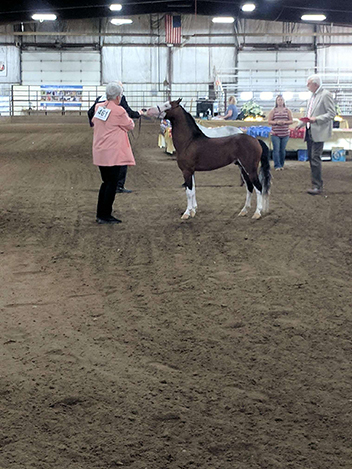 Area 4 show - Grand Champion Foundation Stallion