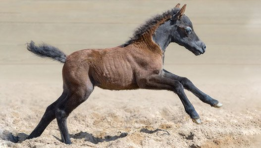 mini foal