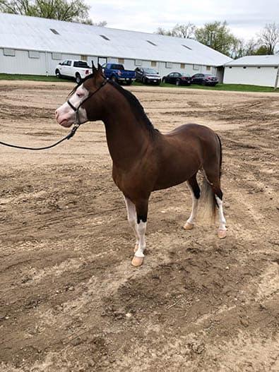 Grand Champion Foundation Stallion