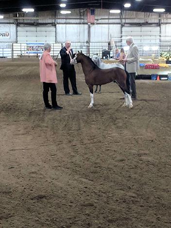 Area 4 show - Grand Champion Foundation Stallion